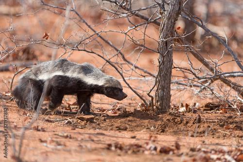 Honey badger in the wilderness of Africa Fototapet