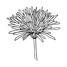 Chrysanthemum Variety Anabel S...