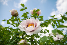 Pink Beautiful Peony Flower Wi...