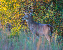 A White-tailed Deer Buck In Th...