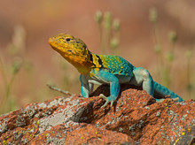 Male Eastern Collared Lizard