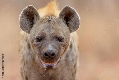 Fotografie, Obraz Hyena in the wilderness of Africa