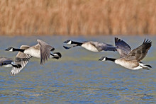 A Skein Of Canada Geese