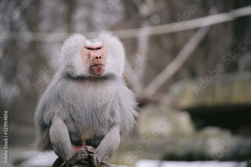 Photo Closeup shot of a male hamadryas baboon with a beautiful silver cape and fierce