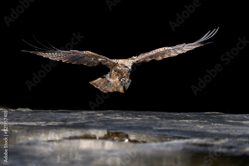 Black kite catching a fish in the sea Canvas Print