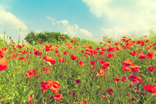 Red Poppies Spring Blossom, Green Meadow With Flowers