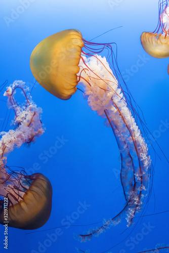Fototapeta Orange jellyfish (Chrysaora fuscescens or Pacific sea nettle) in blue ocean wate