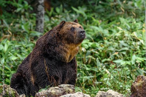 yezo brown bear portrait Canvas Print