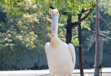 Close Up Great White Pelican W...