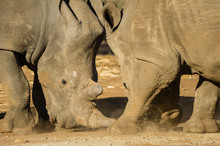 Two Rhinos Tussle Over Food At A South African Rhino Horn Farm.
