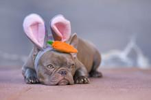 Beautiful Lilac French Bulldog...