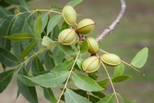 Healthy, Organic Pecan Nuts St...