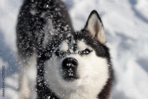 siberian husky in the snow Canvas Print