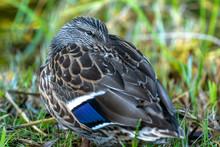 Female Mallard Duck Resting He...