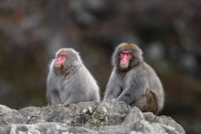 Two Japanese Snow Monkey Portrait During Fall