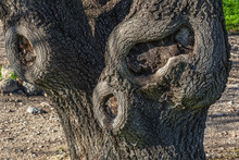 Deformed Bark Of An Old Tree. Tree Trunk Structure