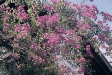 Pink Bougainvillea Blooming Ag...