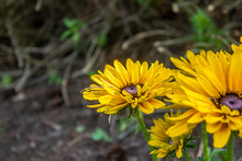 Bright Yellow Gloriosa Daisy W...