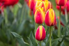 チューリップの花 春...