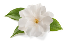 Camellia Flower Isolated