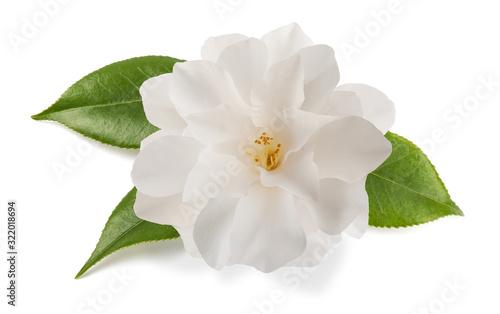 Fotografie, Obraz camellia flower isolated