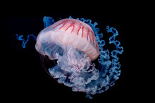 Giant Jellyfish Swimming In Dark Water.