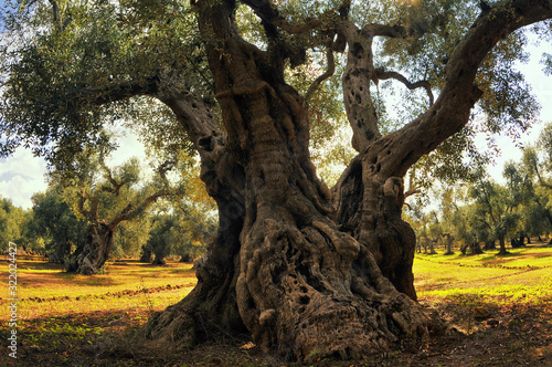 Cuadros en Lienzo Ancient olive tree.