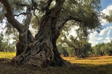Old Olive Tree In The Olive Garden.