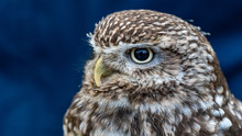 Close Up Of Brown And White Owl