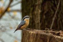 Eurasian Nuthatch Bird Wildlif...