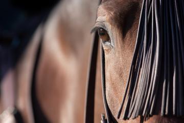 Ojo de un caballo español en Doma Vaquera