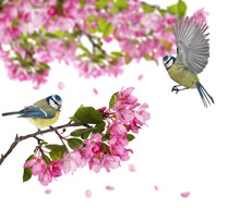 Two Eurasian Blue Tits On Blossoming Apple Tree Branch