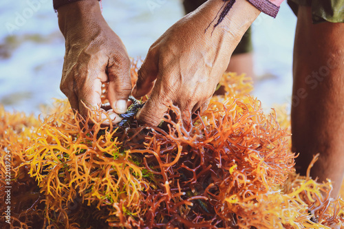 Canvastavla Selective focus on farmer's hands collecting seaweed at seaweed farm in Nusa Pen