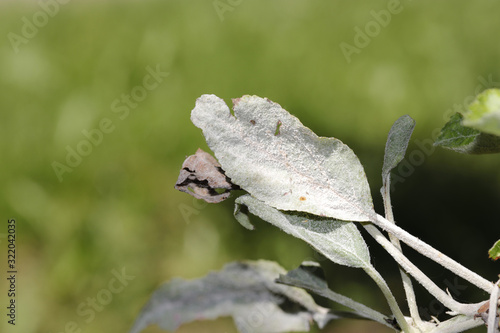 Powdery mildew of apples, apple tree, caused by the fungus Podosphaera leucotricha Canvas-taulu