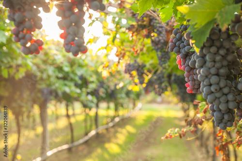 grape harvest Italy Fototapet