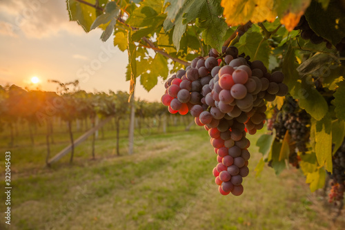 Fototapeta grape harvest Italy obraz
