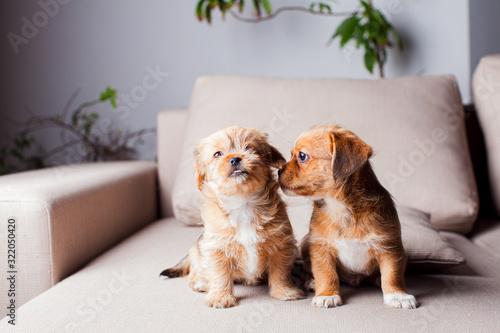 The beautiful Pekingese puppies get acquainted indoor Wallpaper Mural