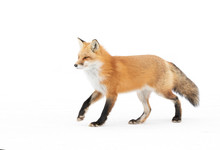 Red Fox Vulpes Vulpes Isolated...