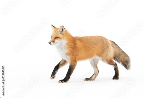 Red fox Vulpes vulpes isolated on white background with a bushy tail hunting in Canvas Print