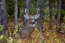 White-tailed Deer Buck Resting...