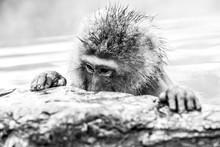 Portrait Of Snow Monkey From J...