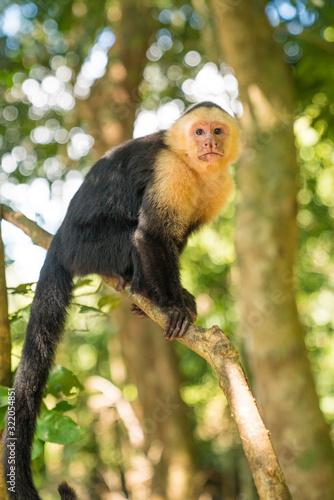 Photo Panamanian White Faced Capuchin Costa Rica