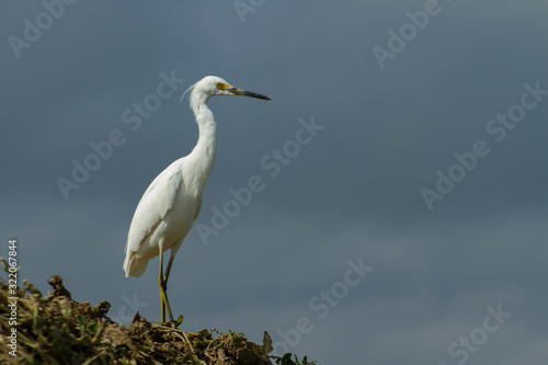 white egret (egretta thula) in a farming location with blue sky background  in s Wallpaper Mural
