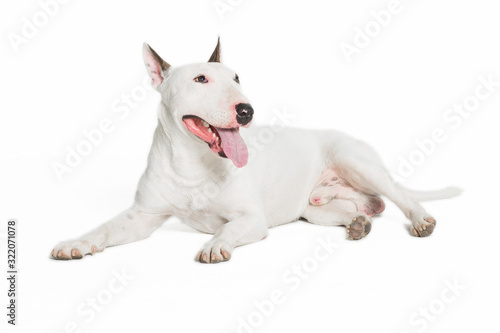 cute bull terrier sticking tongue out on white background. Fototapet