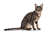 Fototapeta Sawanna - Cute young Savannah F7 cat, sitting side ways. Looking beside camera with green / yellow eyes. Isolated on a white background.
