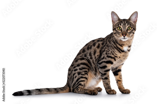 Cute young Savannah F7 cat, sitting side ways. Looking beside camera with green / yellow eyes. Isolated on a white background.