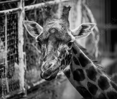 Black and & white image of a giraffe's face whilst eating and looking silly with a wonky mouth and ears pointing sideways kept captivity in a cage with a spotty neck looking at camera whilst munching Wall mural