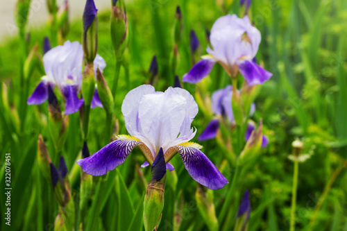 Irises with purple and white petals on the flowerbed_