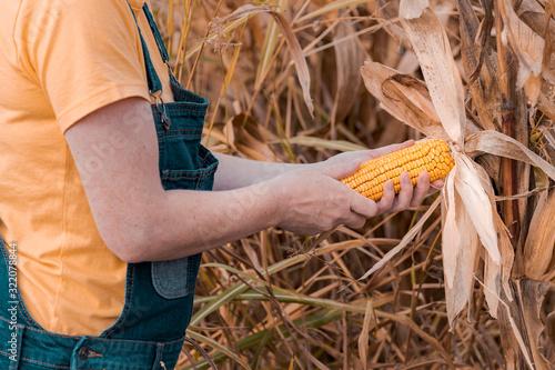 Female farmer examining ear of corn crop