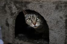 Gato Atigrado Escondido Jugando